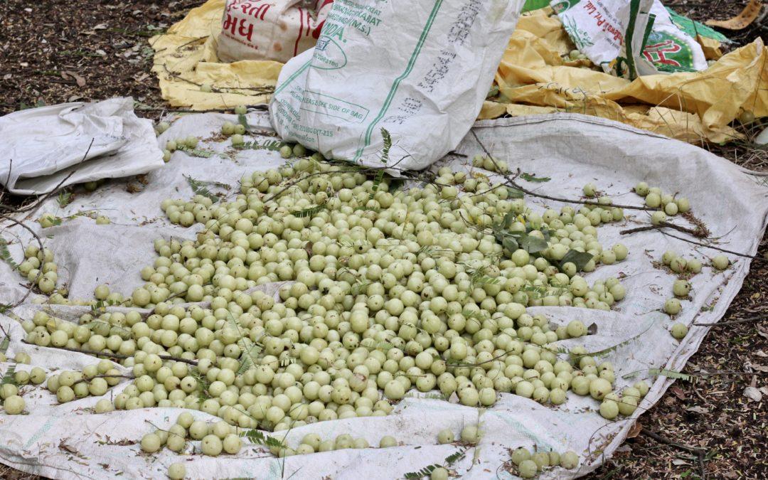 Die Amla-Frucht – saurer Geschmack mit süßer Wirkung